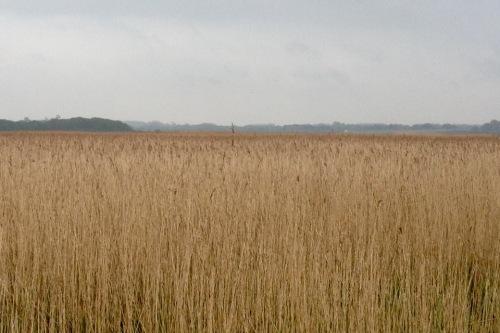 aldeburgh-reeds